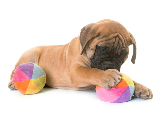 Mastiff puppies are prone to dog birth defects of the limbs.
