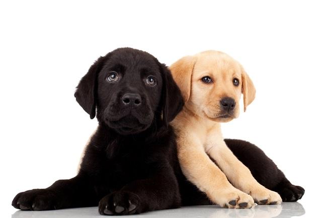 Dog birth defects in Labrador retriever puppies