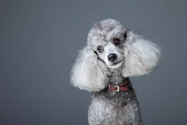 Poodle participant in veterinary clinical trial