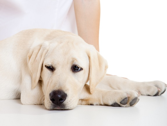 Labrador retriever lying on table
