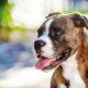 Boxer's are a dog breed prone to Degenerative Myelopathy