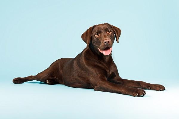 Labrador retriever dogs are prone to developing discospondylitis