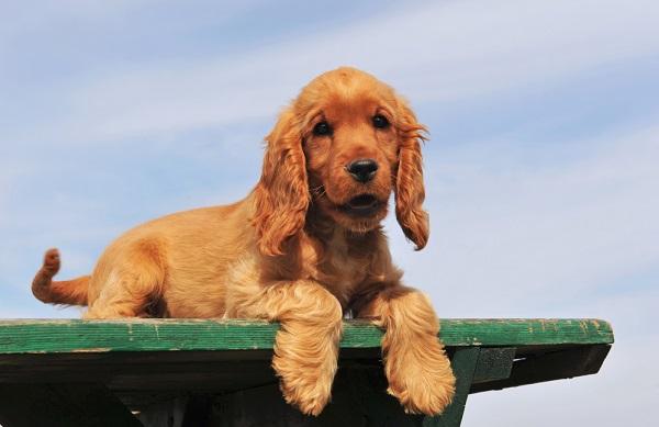 Young Cocker Spaniel dog