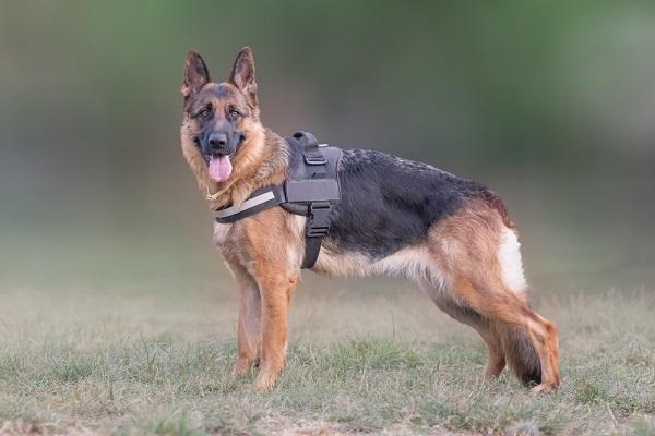 German shepherd dogs are prone to Degenerative Myelopathy