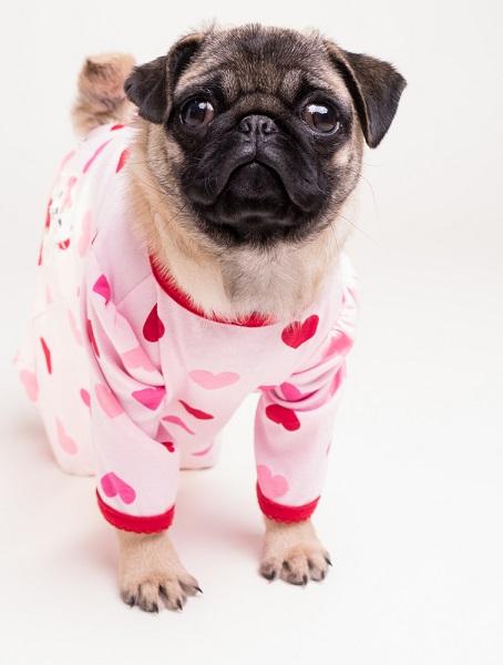 Pug wearing a baby onesie