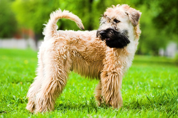 Soft coated Wheaton terriers are prone to degenerative myelopathy