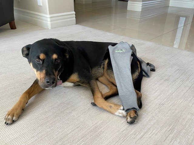 Dog trying on Lick Sleeve protective device