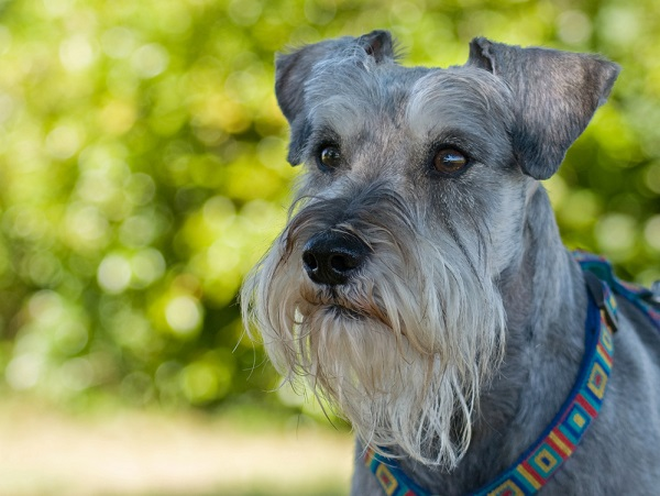 Schnauzers are prone to strokes in dogs